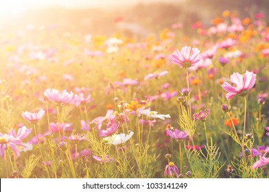 Cosmos Vintage Tone Background,Colorful flowers with morning light.