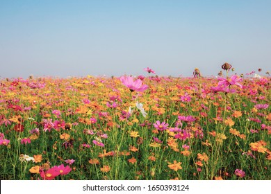Cosmos in winter with beautiful at the blue sky.