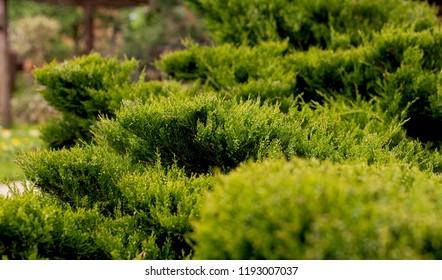 Cossack juniper ( lat. Juniperus sabina). Shearing of the juniper with gardening scissors, Soft focus. Garden art/ design/ landscape. Topiary. Blurred background with juniper.