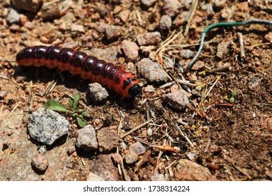 Cossus cossus. Caterpillar auf Waldboden in der Sonne