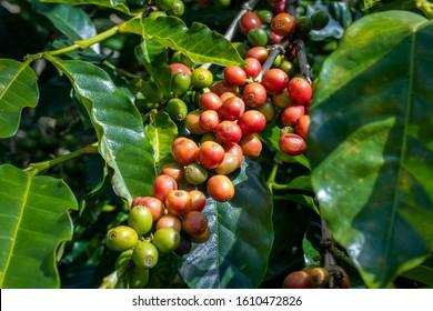 Costa Rica. Coffea fruits (Coffea arabica) on tree branches.
