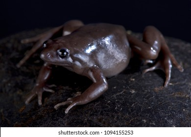 The Costa Rica Nelson frog (Ctenophryne aterrima) is a robust, terrestrial and nocturnal black frog species found in Panama,Costa Rica and Ecuador.