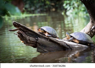 Costa Rica, Tortuguero National Park, canals and rainforest. Turtles sunbathing