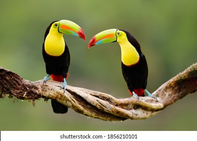 Costa Rica wildlife. Keel-billed Toucan, Ramphastos sulfuratus, bird with big bill sitting on branch in the forest, Costa Rica. Nature travel in central America. Beautiful bird in nature habitat.