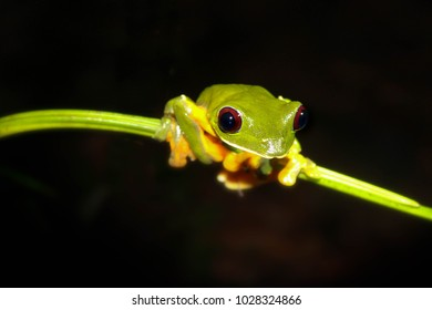 Costa Rican frog on a branch at night