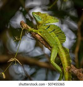 Costa Rican Green Basilisk Lizard (Basiliscus plumifrons)_