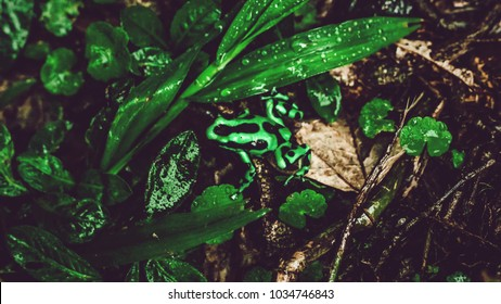 Costa Rican green and black frog in between leaves in rainforest