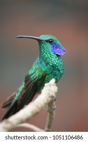 Costa Rican green violetear hummingbird with peacock like feather, San Gerardo de Dota, Costa Rica