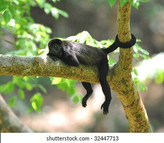 costa rican howler monkey with tail wrapped around tree trunk, guanacaste, costa rica, latin america, black monkey mono negra resting relaxing on tree branch in tropical jungle