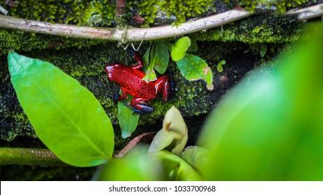 Costa Rican Oophaga pumilio in rainforest
