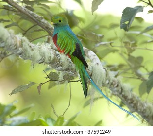 costa rican resplendent quetzal or Pharomachrus mocinno, savegre mountain, San Gerardo de dota, costa rica. vibrant colorful exotic bird in lush tropical jungle
