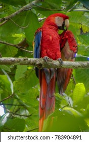 Costa Rican Scarlet Macaw