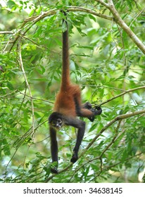 costa rican spider monkey male juvenile hanging from tree by tail, corcovado national park, costa rica, central america, mono aranya exotic primate in lush vibrant jungle rainforest