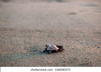 Costa Rican Turtle Hatchling