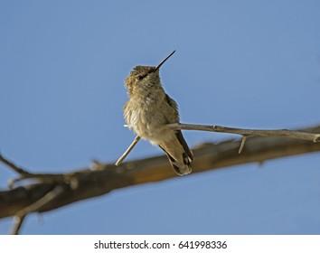 Costa's Hummingbird in Phoenix Mountain Preserve