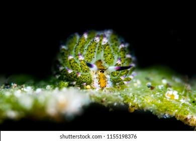 Costasiella kuroshimae Nudbranch - Sea Slug
