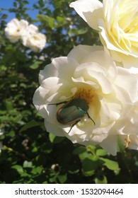 Cotinis Mutabilis Beetle on a White Rose in a Rose Garden on a Summer Day, Figater Beetle, Fig Beetle
