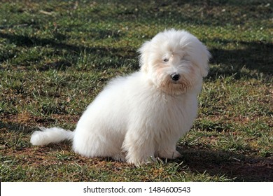coton de tuléar dog closeup view