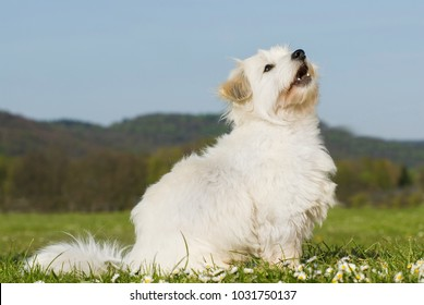 Coton de tulear dog in nature background