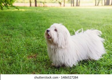 Coton de Tulear dog on a grass field