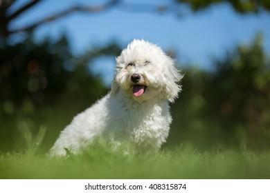 Coton de Tulear dog portrait in garden