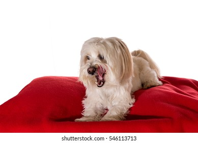 Coton de Tulear Dog sitting on a red pillow isolated on a white background
