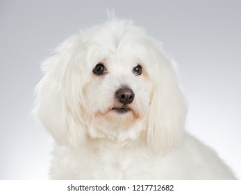Coton de Tulear dog in a studio. White background.