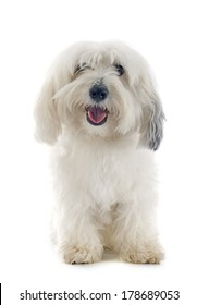 Coton de Tulear in front of white background