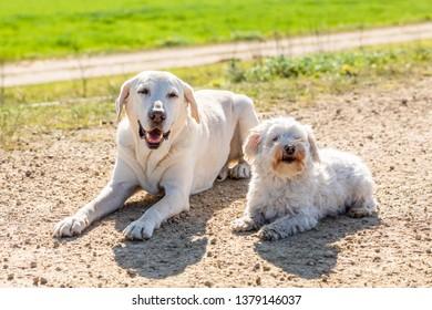Coton de Tulear and labrador lying outdoors in the sun