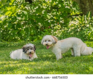 Coton de Tulear terrier puppies playing in the sun on the grass.