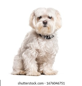 Coton de Tulear wearing a collar, isolated on white