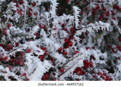 Cotoneaster berries on a ice laden bush in the middle of a winter freeze