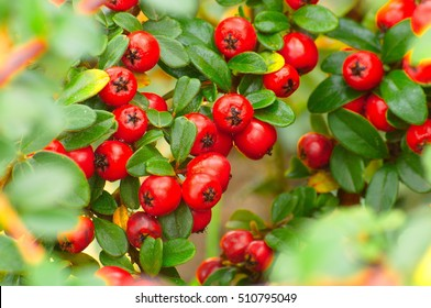 A Cotoneaster bush with lots of red berries on branches, autumnal background. Close-up colorful autumn wild bushes with red berries in the park; shallow depth of field