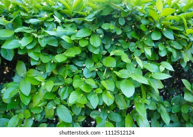 Cotoneaster lucidus or shiny cotoneaster green plant