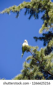 Cotorra argentina. Monk parakeet also known as quaker parrot in the branches of a park tree. Myiopsitta monachus