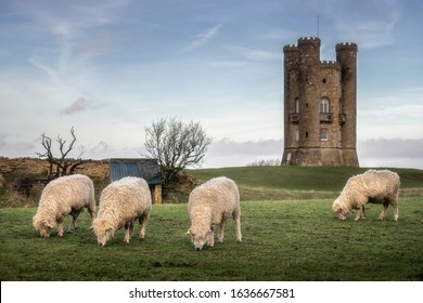 Cotswold lion sheep near broadway tower in worcestershire