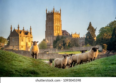 Cotswold sheep near Chipping Campden in Gloucestershire with Church in background