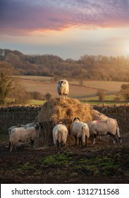 Cotswolds Sheep feeding on hay