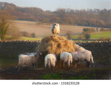 Cotswolds Sheep, North Cotswolds, Gloucestershire, England