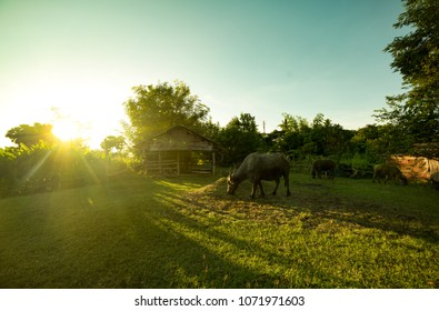 Cottage of buffalo in green rice field  cleary blue sky with warm sunshie nature life in thailand asia