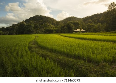 cottage in green rice fields