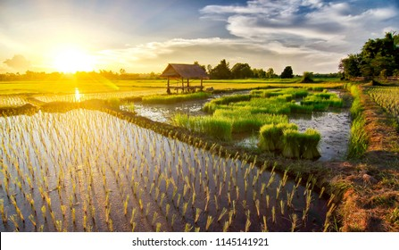 Cottage in the rice field evening before sunset in the growing season of the rainy, Homestay Pa Sak Village Tha Bo District Nong Khai Province travel and relax in a free day brath pure air for healt.