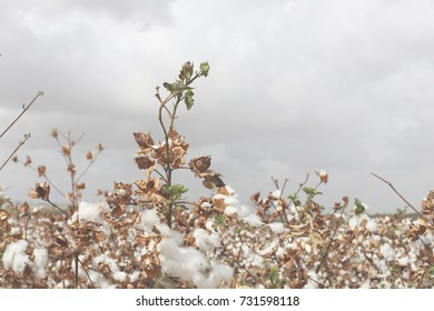 Cotton background seasons changing agriculture fall plants in the field with gray sky