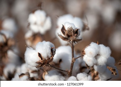 Cotton balls on the plant ready to be harvested, Texas