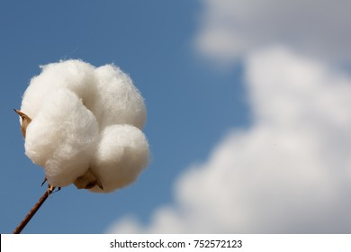 Cotton Boll and a Blue Cloudy Sky