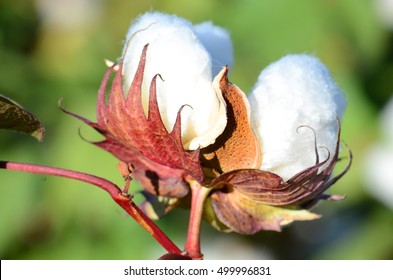 Cotton Boll In the Fall