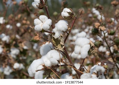cotton boll on branch close up