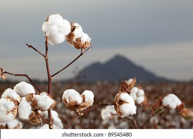 Cotton Bolls in Arizona Cotton Field Ready for Harvest