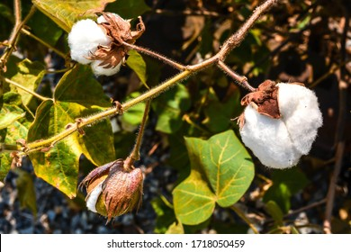 Cotton bolls bloom in nature. Wild natural cotton bolls background