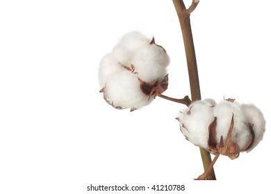 cotton bolls on white background